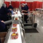 Strawberry Packing Line